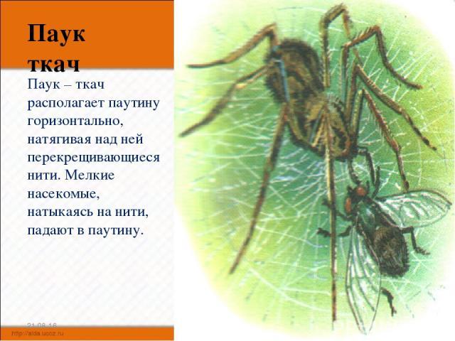 Паук ткач Паук – ткач располагает паутину горизонтально, натягивая над ней перекрещивающиеся нити. Мелкие насекомые, натыкаясь на нити, падают в паутину. * *
