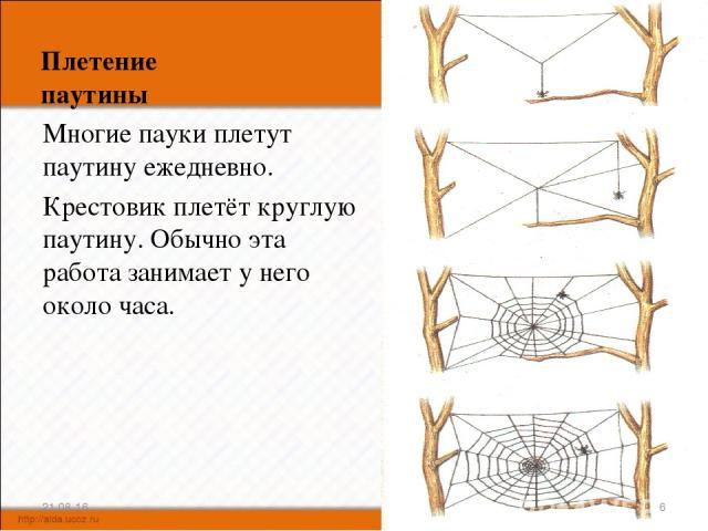 Плетение паутины Многие пауки плетут паутину ежедневно. Крестовик плетёт круглую паутину. Обычно эта работа занимает у него около часа. * *