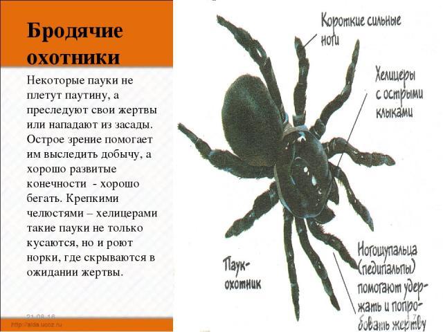 Бродячие охотники Некоторые пауки не плетут паутину, а преследуют свои жертвы или нападают из засады. Острое зрение помогает им выследить добычу, а хорошо развитые конечности - хорошо бегать. Крепкими челюстями – хелицерами такие пауки не только кус…