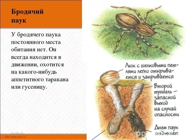 Бродячий паук У бродячего паука постоянного места обитания нет. Он всегда находится в движении, охотится на какого-нибудь аппетитного таракана или гусеницу. * *