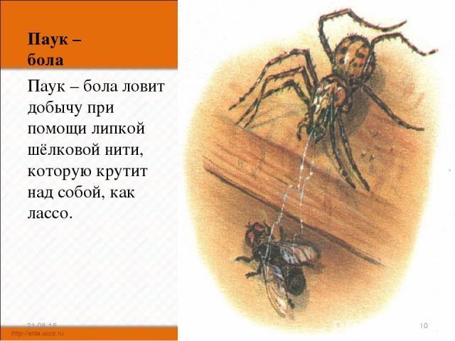 Паук – бола Паук – бола ловит добычу при помощи липкой шёлковой нити, которую крутит над собой, как лассо. * *