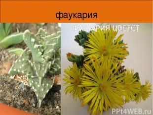 фаукария Края листьев фаукарии покрыты мягкими шипами с загнутыми концами, что д