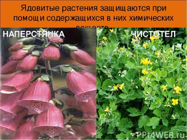 Ядовитые растения защищаются при помощи содержащихся в них химических веществ. * *