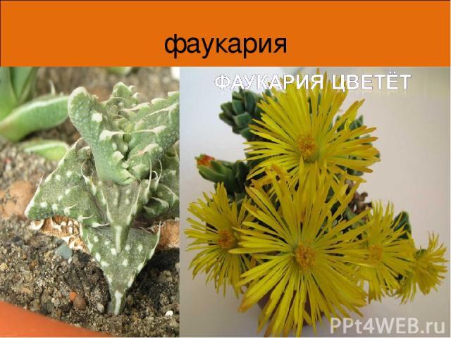 фаукария Края листьев фаукарии покрыты мягкими шипами с загнутыми концами, что делает верхнюю пару листьев похожей на раскрытую пасть. Таким образом растение отпугивает животных. * *