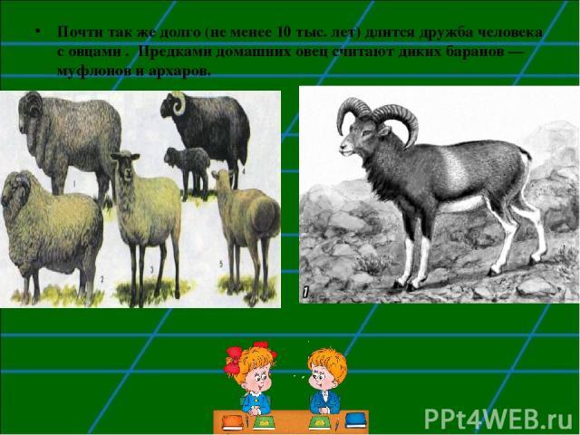 Почти так же долго (не менее 10 тыс. лет) длится дружба человека с овцами . Предками домашних овец считают диких баранов — муфлонов и архаров.
