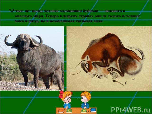 7,5 тыс. лет назад человек одомашнил буйвола— сильного и опасного зверя. Теперь в жарких странах они не только источник мяса и шкур, но и незаменимая тягловая сила.