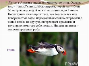 Летом в Арктике гнездится множество птиц. Одна из них – тупик.Тупик хорошо ныряе