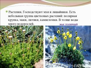 Растения. Господствуют мхи и лишайники. Есть небольшая группа цветковых растений
