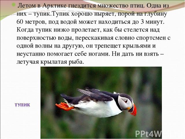 Летом в Арктике гнездится множество птиц. Одна из них – тупик.Тупик хорошо ныряет, порой на глубину 60 метров, под водой может находиться до 3 минут. Когда тупик низко пролетает, как бы стелется над поверхностью воды, перескакивая словно спортсмен с…