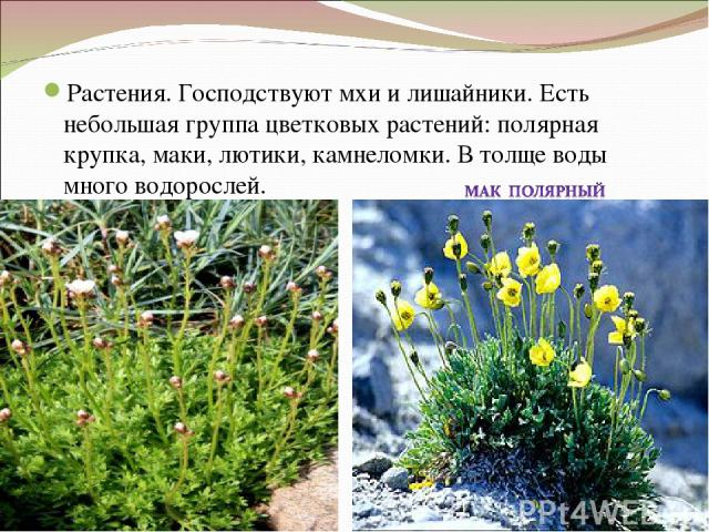 Растения. Господствуют мхи и лишайники. Есть небольшая группа цветковых растений: полярная крупка, маки, лютики, камнеломки. В толще воды много водорослей.