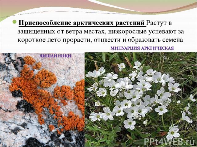 Приспособление арктических растений Растут в защищенных от ветра местах, низкорослые успевают за короткое лето прорасти, отцвести и образовать семена