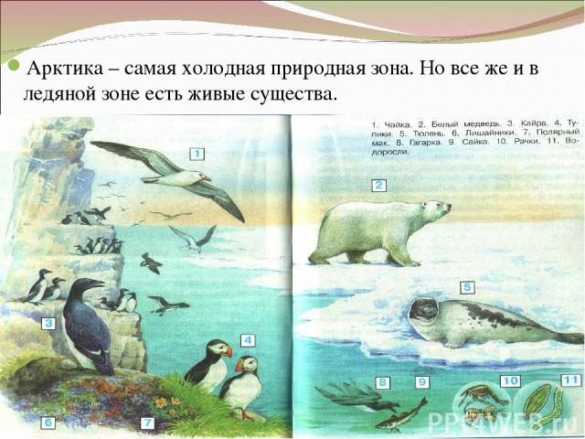 Арктика – самая холодная природная зона. Но все же и в ледяной зоне есть живые существа.