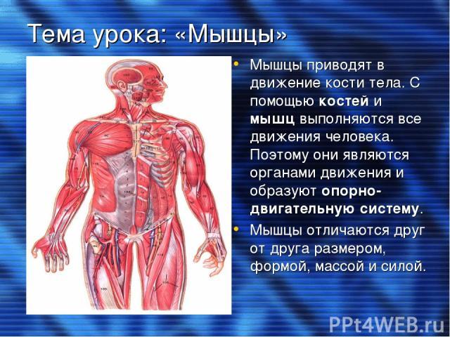 Тема урока: «Мышцы» Мышцы приводят в движение кости тела. С помощью костей и мышц выполняются все движения человека. Поэтому они являются органами движения и образуют опорно-двигательную систему. Мышцы отличаются друг от друга размером, формой, масс…