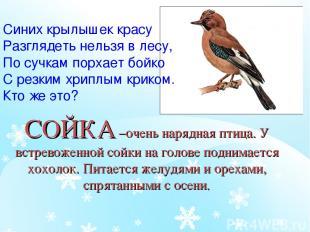 СОЙКА –очень нарядная птица. У встревоженной сойки на голове поднимается хохолок