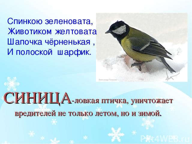СИНИЦА-ловкая птичка, уничтожает вредителей не только летом, но и зимой. Спинкою зеленовата, Животиком желтовата Шапочка чёрненькая , И полоской шарфик.