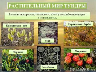 РАСТИТЕЛЬНЫЙ МИР ТУНДРЫ Растения низкорослые, стелющиеся, почти у всех небольшие