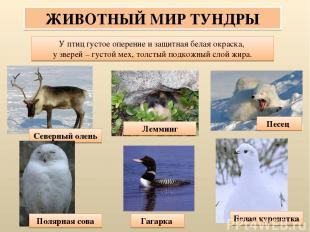 ЖИВОТНЫЙ МИР ТУНДРЫ У птиц густое оперение и защитная белая окраска, у зверей –