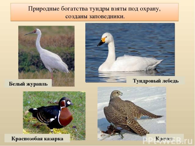 Природные богатства тундры взяты под охрану, созданы заповедники. Белый журавль Тундровый лебедь Краснозобая казарка Кречет
