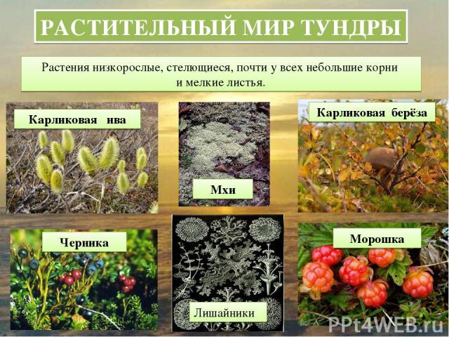 РАСТИТЕЛЬНЫЙ МИР ТУНДРЫ Растения низкорослые, стелющиеся, почти у всех небольшие корни и мелкие листья. Карликовая ива Карликовая берёза Черника Морошка Мхи Лишайники