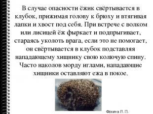 В случае опасности ёжик свёртывается в клубок, прижимая голову к брюху и втягива