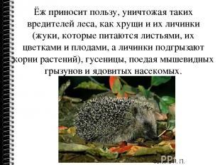 Ёж приносит пользу, уничтожая таких вредителей леса, как хрущи и их личинки (жук