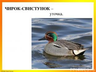 ЧИРОК-СВИСТУНОК – уточка. © Фокина Лидия Петровна