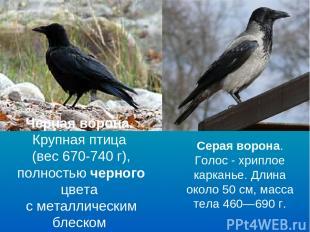 Черная ворона. Крупная птица (вес 670-740 г), полностью черного цвета с металлич