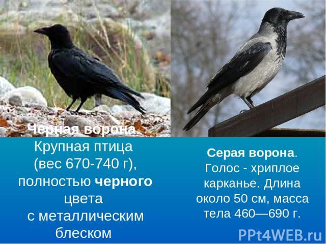 Черная ворона. Крупная птица (вес 670-740 г), полностью черного цвета с металлическим блеском Серая ворона. Голос - хриплое карканье. Длина около 50см, масса тела 460—690г.