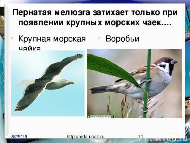 Пернатая мелюзга затихает только при появлении крупных морских чаек…. Крупная морская чайка Воробьи http://aida.ucoz.ru