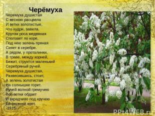 Черемуха душистая С весною расцвела И ветки золотистые, Что кудри, завила. Круго