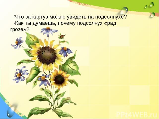 Что за картуз можно увидеть на подсолнухе? Как ты думаешь, почему подсолнух «рад грозе»?