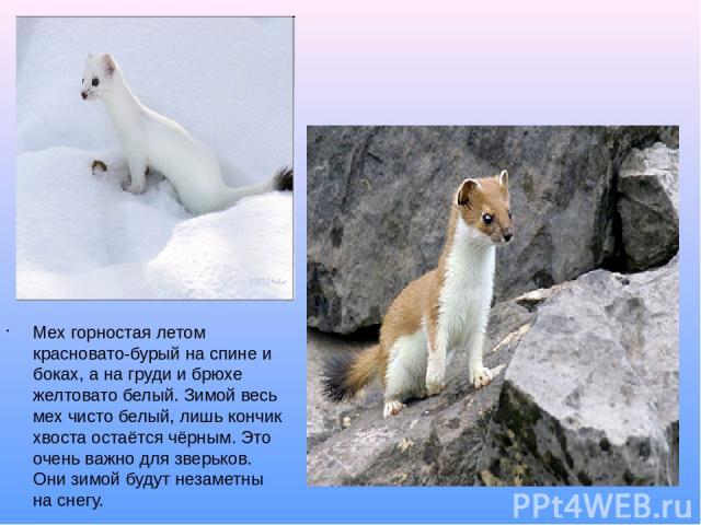 Мех горностая летом красновато-бурый на спине и боках, а на груди и брюхе желтовато белый. Зимой весь мех чисто белый, лишь кончик хвоста остаётся чёрным. Это очень важно для зверьков. Они зимой будут незаметны на снегу. горностай