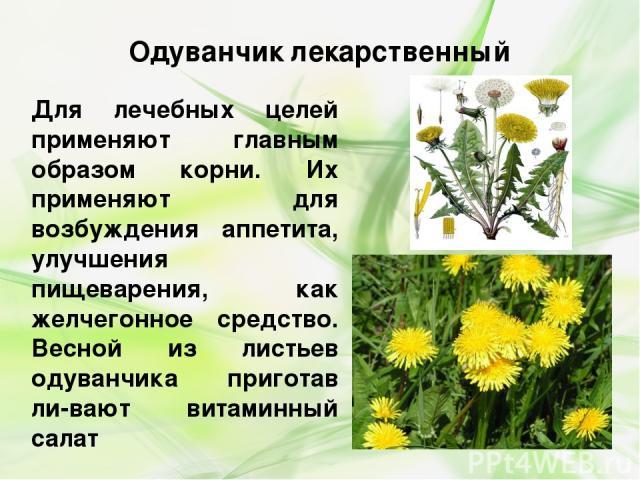 Лечебное свойство листьев одуванчика и противопоказания
