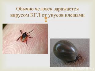 Обычно человек заражается вирусом КГЛ от укусов клещами