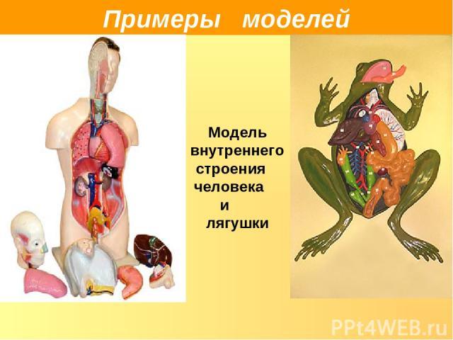 Примеры моделей Модель внутреннего строения человека и лягушки