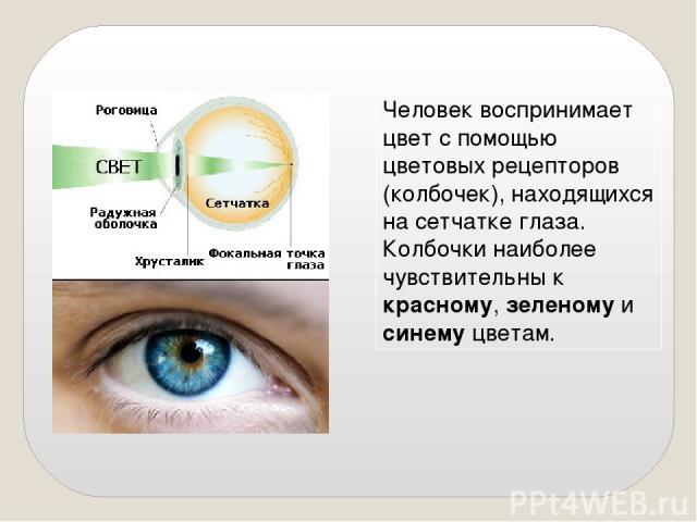 Человек воспринимает цвет с помощью цветовых рецепторов (колбочек), находящихся на сетчатке глаза. Колбочки наиболее чувствительны к красному, зеленому и синему цветам.