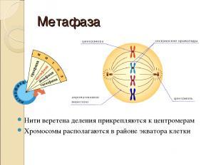 Метафаза Нити веретена деления прикрепляются к центромерам Хромосомы располагают