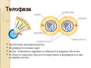 Телофаза Хромосомы деспирализуются Формируются новые ядра Вновь появляется ядрыш