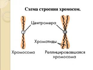 Схема строения хромосом.