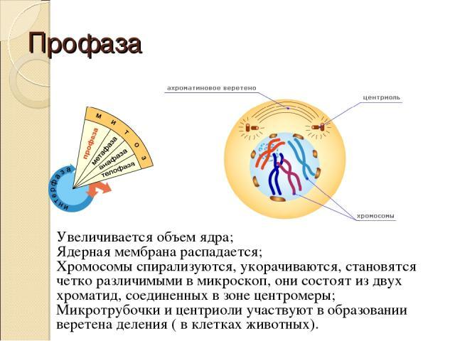 Профаза Увеличивается объем ядра; Ядерная мембрана распадается; Хромосомы спирализуются, укорачиваются, становятся четко различимыми в микроскоп, они состоят из двух хроматид, соединенных в зоне центромеры; Микротрубочки и центриоли участвуют в обра…
