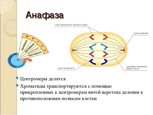 Анафаза Центромеры делятся Хроматиды транспортируются с помощью прикрепленных к центромерам нитей веретена деления к противоположным полюсам клетки
