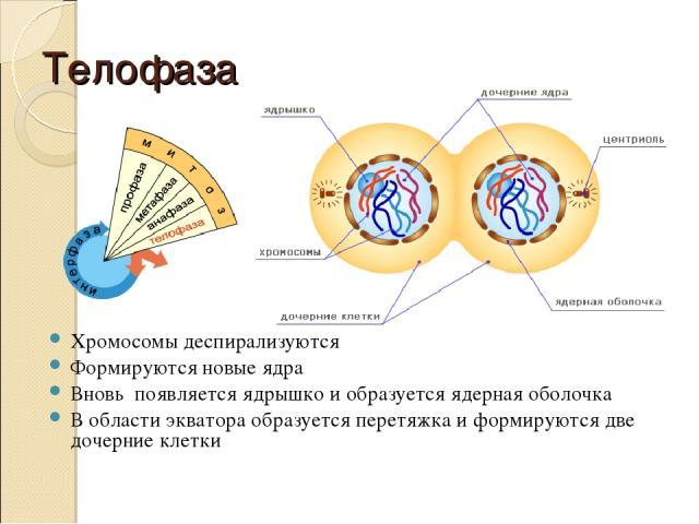 Телофаза Хромосомы деспирализуются Формируются новые ядра Вновь появляется ядрышко и образуется ядерная оболочка В области экватора образуется перетяжка и формируются две дочерние клетки