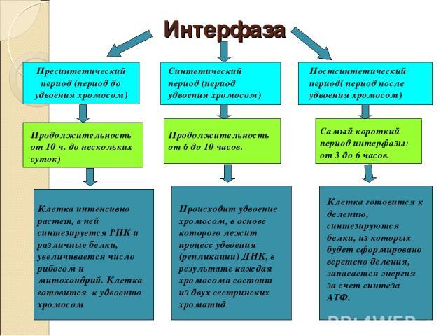 Интерфаза Пресинтетический период (период до удвоения хромосом) Синтетический период (период удвоения хромосом) Постсинтетический период( период после удвоения хромосом) Продолжительность от 10 ч. до нескольких суток) Продолжительность от 6 до 10 ча…
