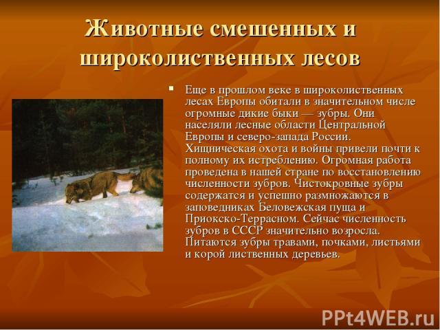 Животные смешенных и широколиственных лесов Еще в прошлом веке в широколиственных лесах Европы обитали в значительном числе огромные дикие быки — зубры. Они населяли лесные области Центральной Европы и северо-запада России. Хищническая охота и войны…