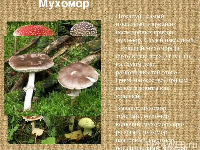 Мухомор Пожалуй , самый известный и яркий из несъедобных грибов – мухомор. Самый известный – красный мухомор(на фото в лев. верх. углу), но на самом деле разновидностей этого гриба множество, причем не все ядовиты как красный. Бывают: мухомор толсты…