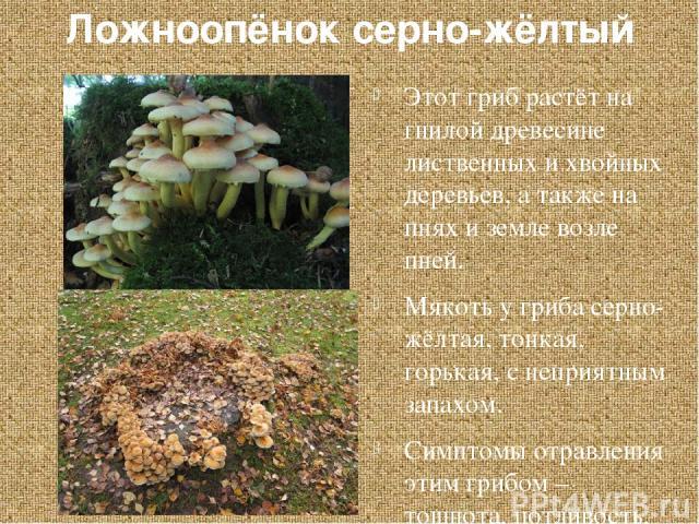 Ложноопёнок серно-жёлтый Этот гриб растёт на гнилой древесине лиственных и хвойных деревьев, а также на пнях и земле возле пней. Мякоть у гриба серно-жёлтая, тонкая, горькая, с неприятным запахом. Симптомы отравления этим грибом – тошнота, потливост…