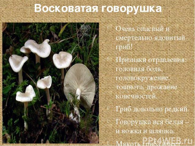 Восковатая говорушка Очень опасный и смертельно ядовитый гриб! Признаки отравления: головная боль, головокружение, тошнота, дрожание конечностей. Гриб довольно редкий. Говорушка вся белая – и ножка и шляпка. Мякоть гриба имеет приятный вкус и запах.