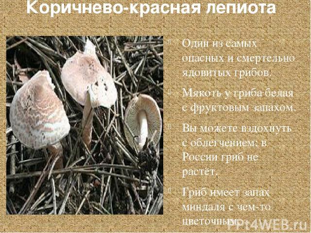 Коричнево-красная лепиота Один из самых опасных и смертельно ядовитых грибов. Мякоть у гриба белая с фруктовым запахом. Вы можете вздохнуть с облегчением: в России гриб не растёт. Гриб имеет запах миндаля с чем-то цветочным.