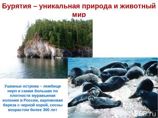 Бурятия – уникальная природа и животный мир Ушканьи острова – лежбище нерп и самая большая по плотности муравьиная колония в России, карликовая береза с черной корой, сосны возрастом более 300 лет