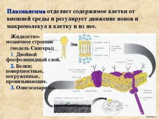 Плазмалемма отделяет содержимое клетки от внешней среды и регулирует движение ио